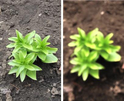 Как в домашних условиях выращивать гортензию